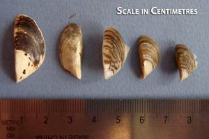 mussels_scale_cm - Copy